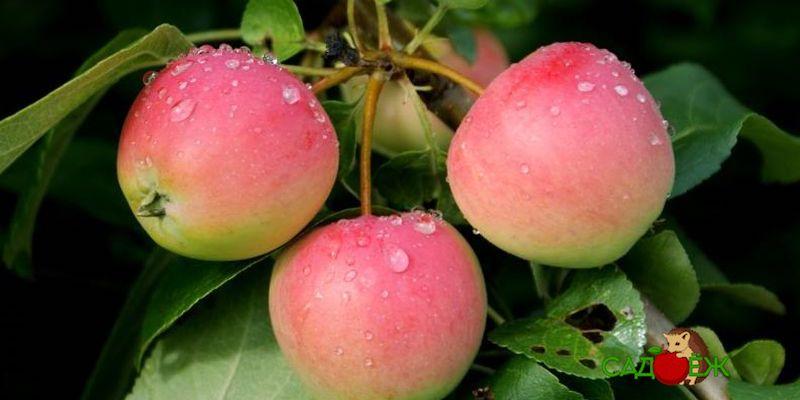Подкормка яблони осенью в сентябре