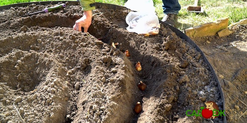 Посадка луковиц тюльпанов в открытый грунт осенью