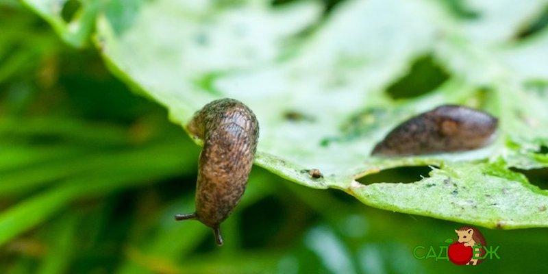 Как защитить капусту от слизней и гусениц?