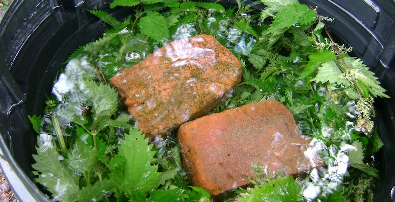 Зеленый настой с хлебом для подкормки смородины