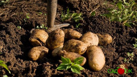 Уход за картофельной грядкой после уборки урожая