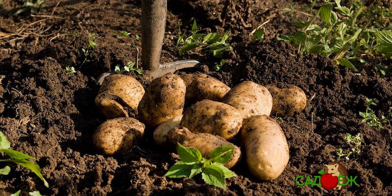 Уход за картофельной грядкой после уборки урожая?
