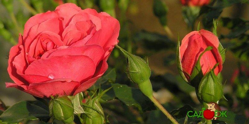 Уход за розами осенью: как подготовить их на зиму