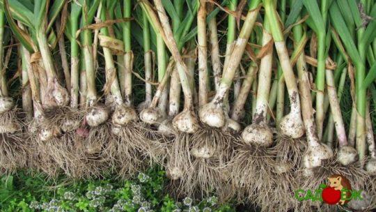 Как и когда убирать урожай чеснока