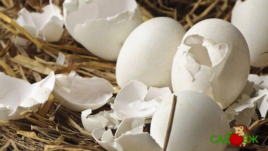 Применение яичной скорлупы для капусты в огороде
