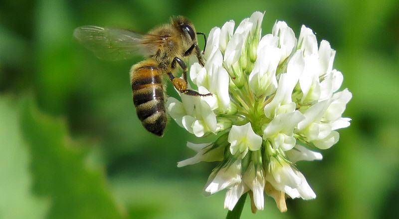 Белый клевер и пчелы