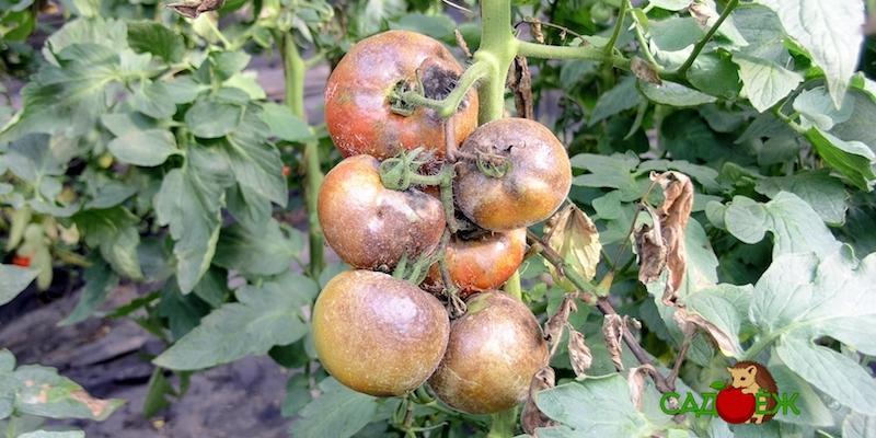 Чем обработать помидоры от фитофторы: 5 народных средств