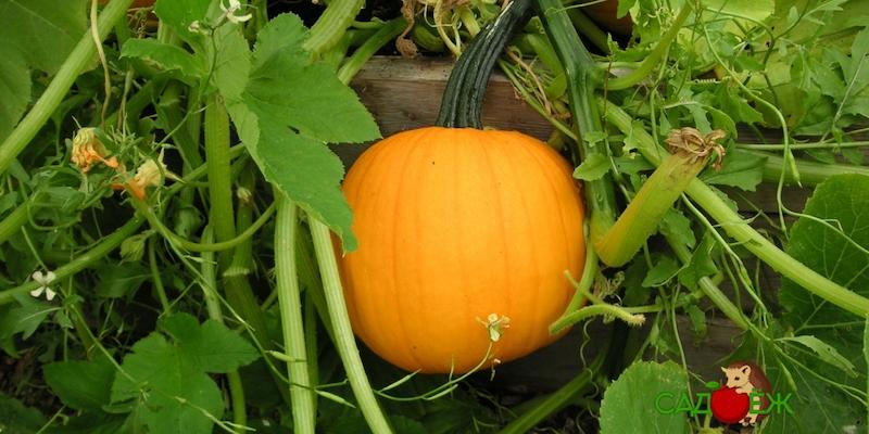 Чем подкормить тыкву в открытом грунте осенью?