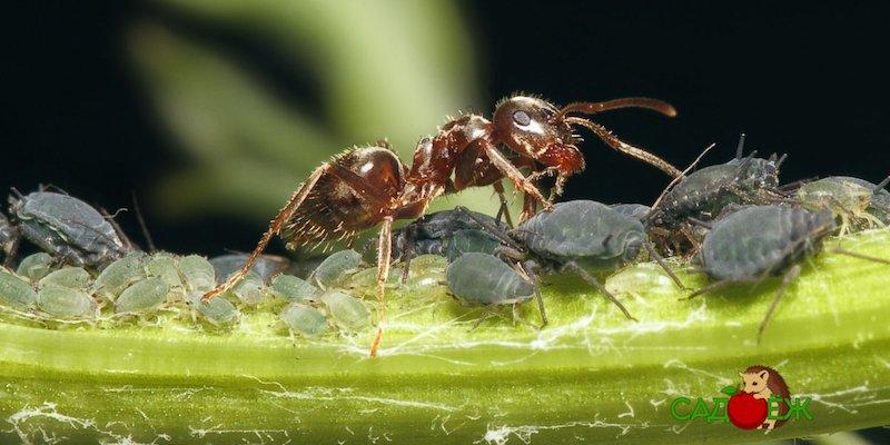 Как избавиться от тли и муравьев на деревьях и растениях?