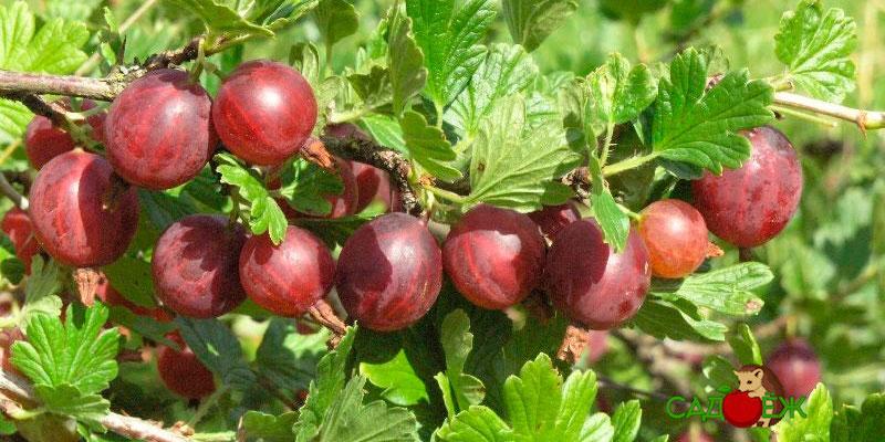 Как повысить урожайность крыжовника?