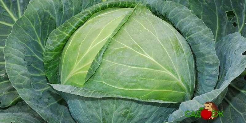 Когда созревает капуста и как понять, что урожай созрел?