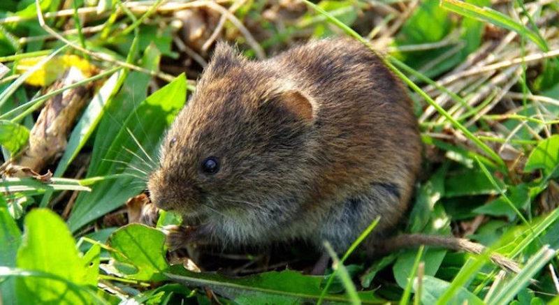 Мыши в огороде