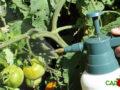 Обработка томатов трихополом от фитофторы