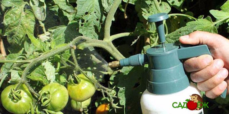 Трихопол от фитофторы на помидорах: как развести и обработать