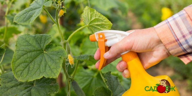 Применение борной кислоты для опрыскивания огурцов
