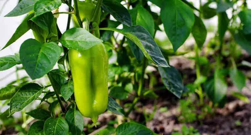 Совместные посадки перцев и томатов в теплице