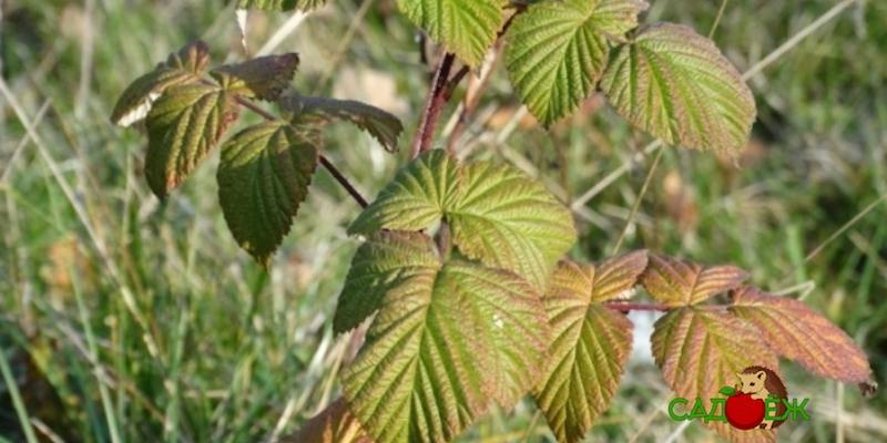 Осенний уход за малиной: как подготовить кусты к зиме