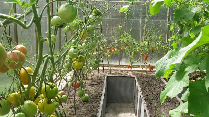 Совместная посадка помидоров и огурцов в теплице