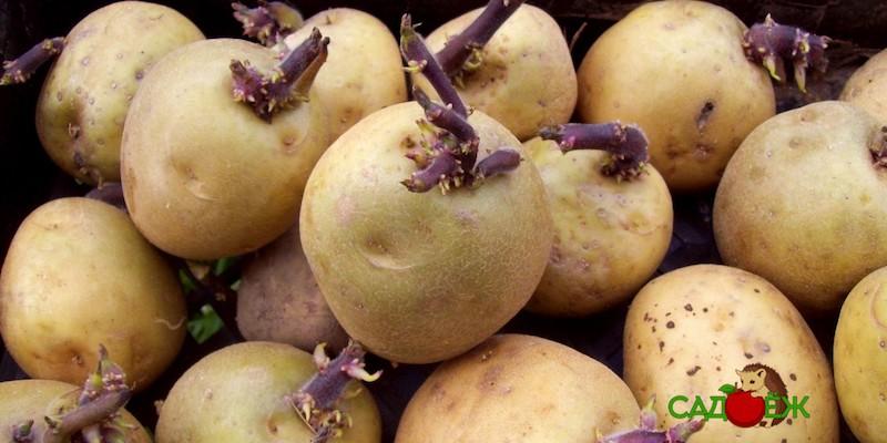 Закон о запрете посадки «своего» картофеля: что он значит?