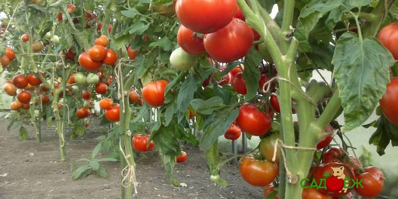 Что можно посадить с помидорами в одной теплице?