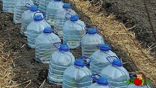 Выращивание огурцов в пластиковых 5-литровых бутылках
