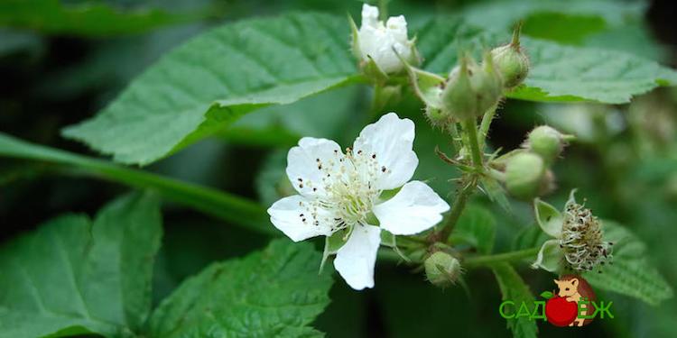 Чем подкормить малину во время цветения?