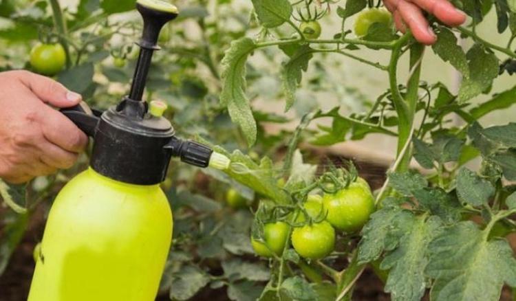 Фитоспорин против фитофторы на томатах