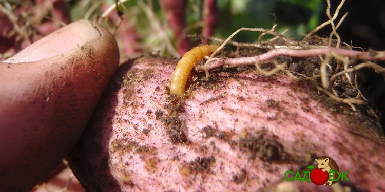 Как избавиться от проволочника в огороде навсегда?