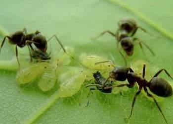 Как избавиться от тли и муравьев на плодовых деревьях?