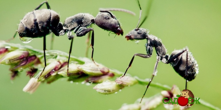 Как избавиться от муравьев в огороде навсегда?