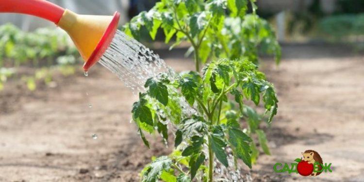 Как правильно поливать помидоры в теплице и открытом грунте?