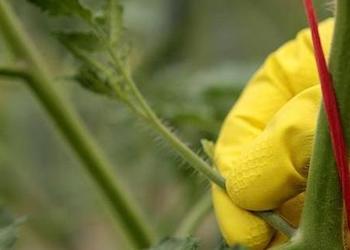 Как правильно пасынковать помидоры?