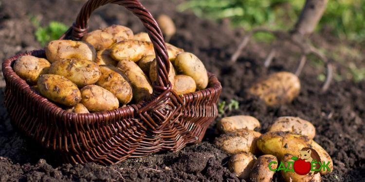 Картофель от посадки до сбора урожая