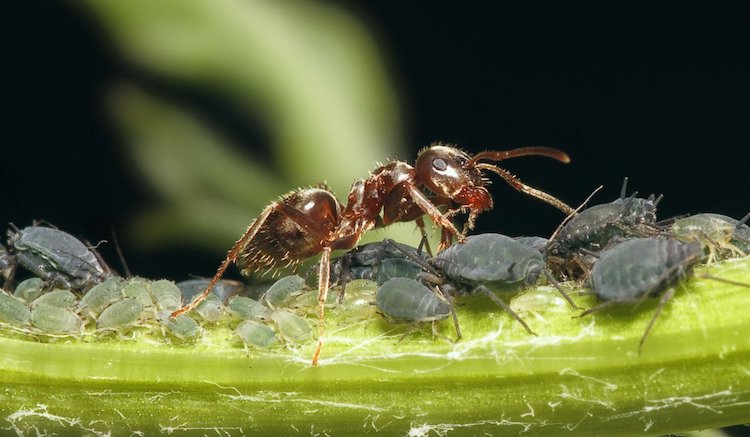 Настой чистотела против тли и муравьев