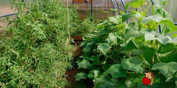 Можно ли выращивать огурцы и помидоры вместе в одной теплице?