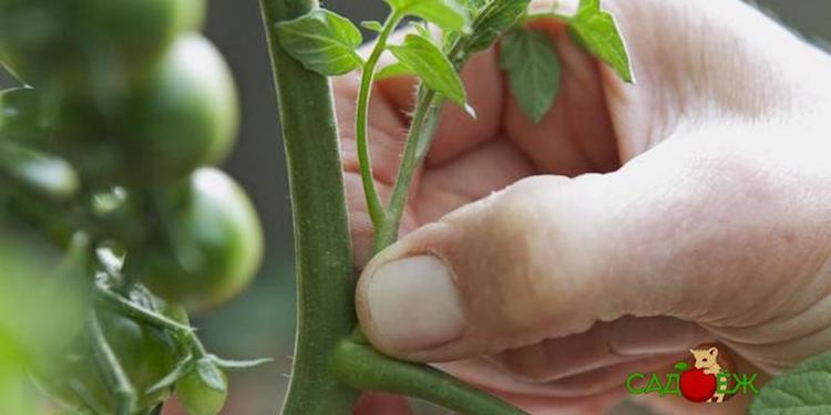 Как правильно и когда удалять пасынки томатов?
