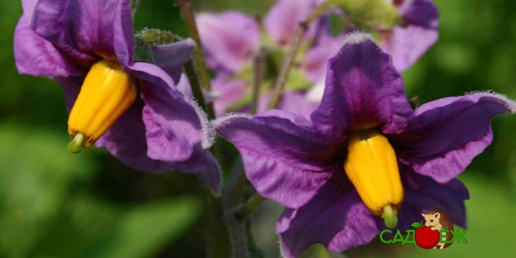 Полезные лечебные свойства цветков картофеля