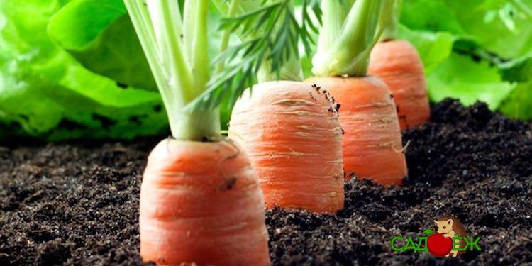 Как правильно посадить морковь, чтобы потом ее не пришлось прореживать?