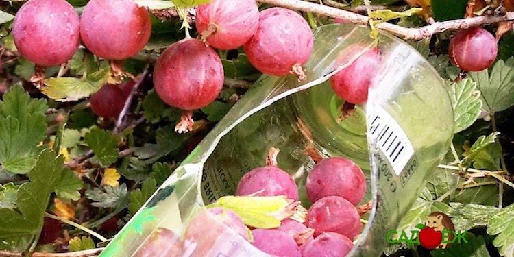 Как усовершенствовать самодельное приспособление для сбора ягод и фруктов?