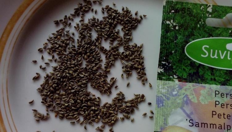всхожесть семян петрушки