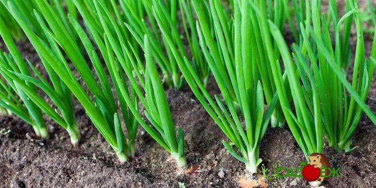 В чем польза соли для лука и чеснока в огороде?