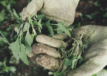 Как определить по сорнякам кислотность почвы?