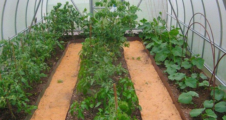 Совместные посадки помидоров, огурцов и перцев в теплице