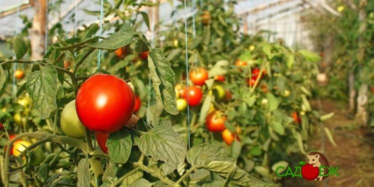 Уход за помидорами: что они не любят?