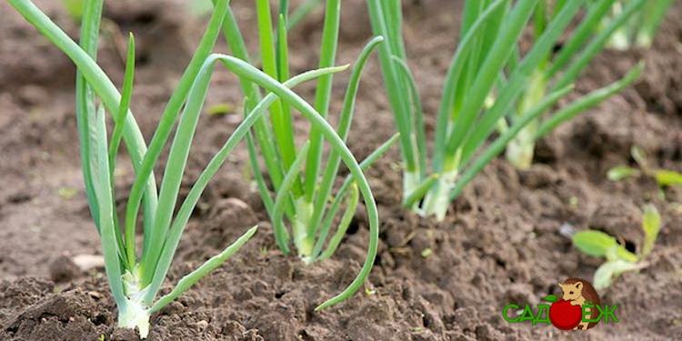 Главные правила выращивания лука в огороде
