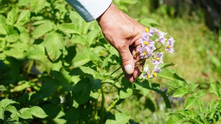 Зачем обрывать цветы у картофеля?