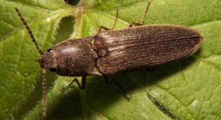 Проволочник - личинка жука-щелкуна
