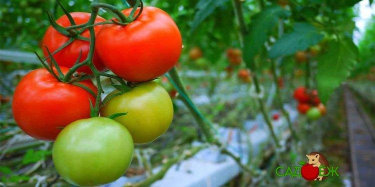 Как ускорить созревание зеленых помидоров на кусте народными способами?