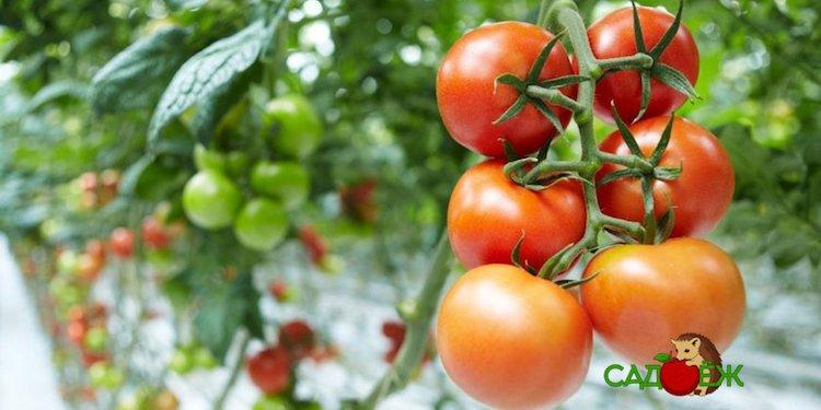 Что сделать, чтобы зеленые помидоры быстрее покраснели?