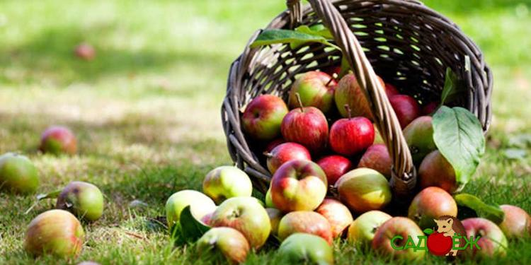 Как сохранить яблоки свежими на зиму в домашних условиях?
